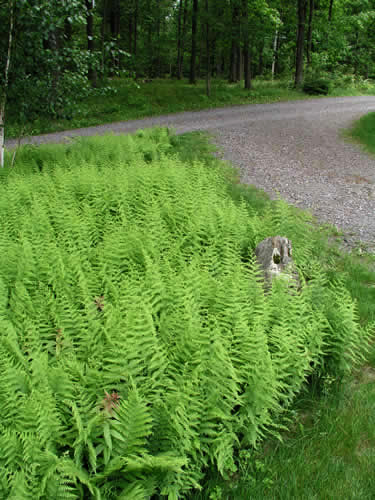 2.1_On-site-ferns