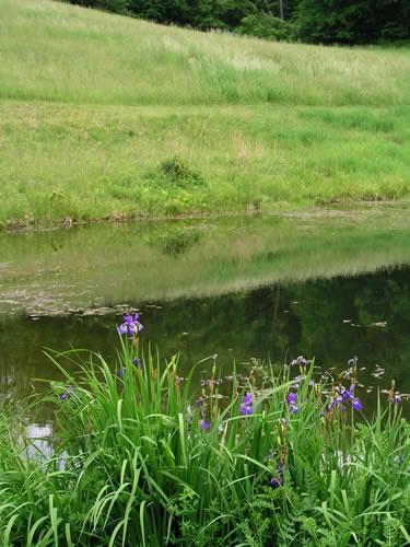 2.2_Perennial-iris-pond