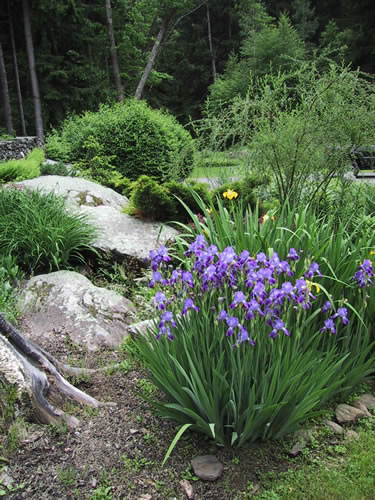 2.2_Perennial-irises