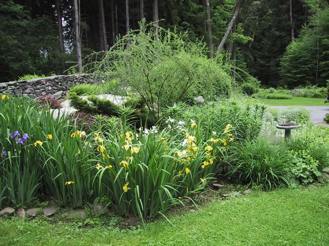 Perennial-lilies