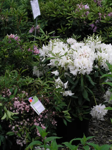 Rhododendron and Mountain Laurel
