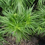 Liatris spicata 'Kobold'