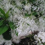 Chionanthus virginicus