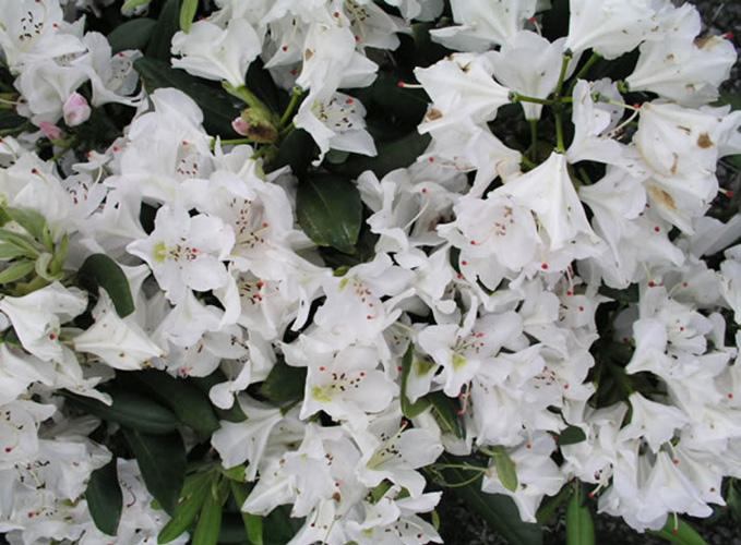 Rhododendron cat. 'Album'