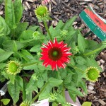 Echinacea 'Sombrero Salsa Red' - Out of Stock