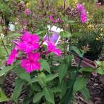 Phlox paniculata ' Purple Rain