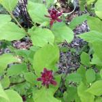 Calcyanthus floridus