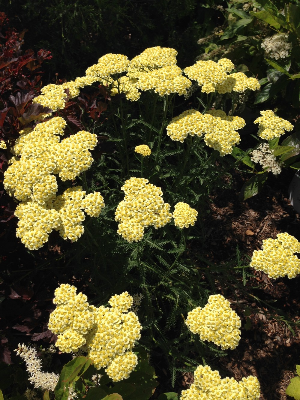 Achillea 'Sunny Seduction'