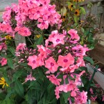 Phlox paniculata 'Coral Creme Drop' - Hurry! 1 left!